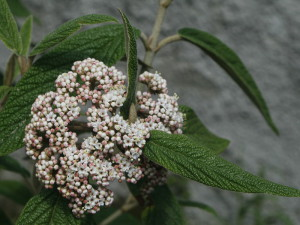 Viburnum rhytidophyllum - zgrbanolistna brogovita 01