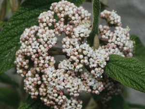 Viburnum rhytidophyllum - zgrbanolistna brogovita 03