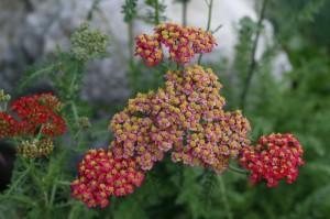 Achillea millefolium 'Cristel' - rdeči rman 01