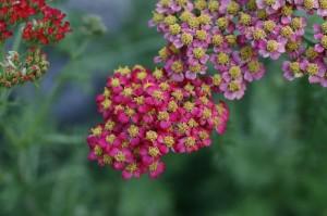 Achillea millefolium 'Cristel' - rdeči rman 02