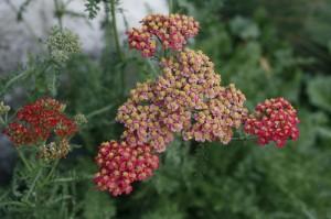 Achillea millefolium 'Cristel' - rdeči rman 03