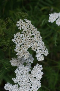 Achillea millefolium - rman 01