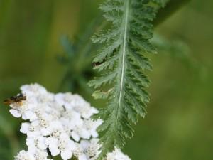 Achillea millefolium - rman 03