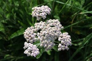 Achillea millefolium - rman 04