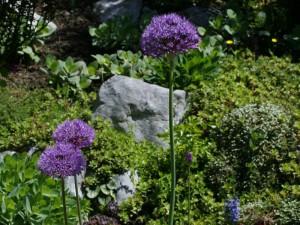 Allium gigantheum - orjaški luk 01