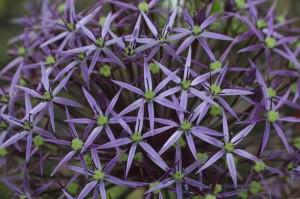 Allium gigantheum - orjaški luk 02