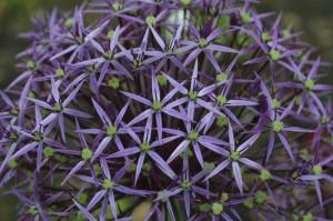 Allium gigantheum - orjaški luk 03