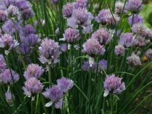 Allium schoenoprasum - drobnjak 02