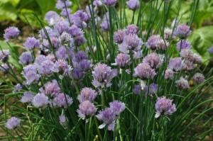 Allium schoenoprasum - drobnjak 03