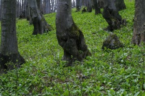 Allium ursinum - čemaž 01