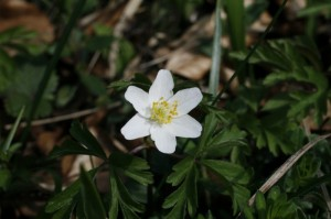 Anemone nemorosa - podlesna vetrnica 04