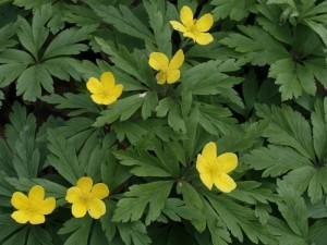 Anemone ranunculoides - zlatična vetrnica 01