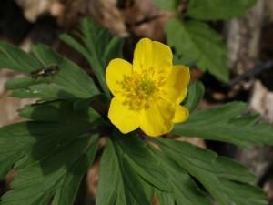 Anemone ranunculoides - zlatična vetrnica 02