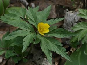 Anemone ranunculoides - zlatična vetrnica 05