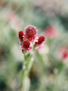 Antennaria dioica 'Rubra' - majnica 01