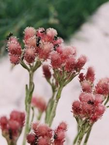 Antennaria dioica 'Rubra' - majnica 02