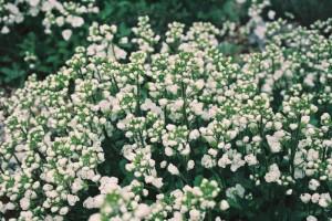 Arabis caucasica 'Plena'- polnocvetni repnjak 05