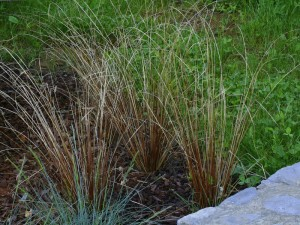 Carex buchananii - buchananov šaš 01