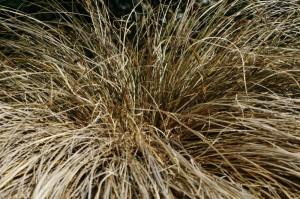 Carex flagelifera 'Bronze form' - rjavolistni šaš 01