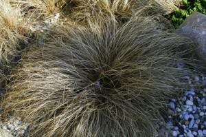 Carex flagelifera 'Bronze form' - rjavolistni šaš 03