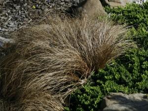 Carex flagelifera 'Bronze form' - rjavolistni šaš 04