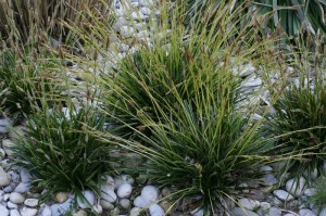 Carex morrowii 'Variegata' - šaš 02