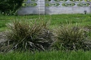 Carex morrowii 'Variegata' - šaš 04