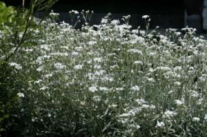 Cerastium tomentosum - smiljka 01