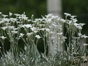 Cerastium tomentosum - smiljka 04