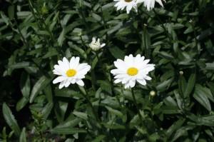 Chrysanthemum maximum - marjetka 02