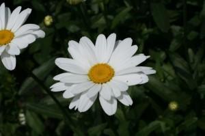 Chrysanthemum maximum - marjetka 04