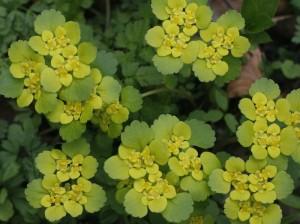 Chrysosplenium alternifolium - premenjalnolistni vraničnik 01
