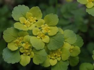 Chrysosplenium alternifolium - premenjalnolistni vraničnik 02