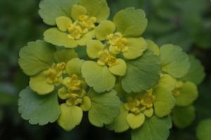 Chrysosplenium alternifolium - premenjalnolistni vraničnik 03