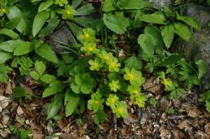 Chrysosplenium alternifolium - premenjalnolistni vraničnik 04