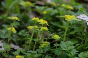 Chrysosplenium alternifolium - premenjalnolistni vraničnik 05