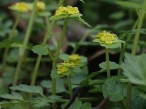 Chrysosplenium alternifolium - premenjalnolistni vraničnik 06