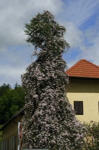 Clematis montana - himalajski srobot 02