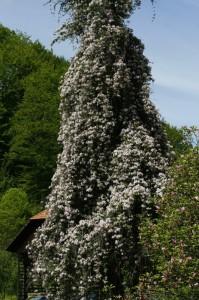 Clematis montana - himalajski srobot 03