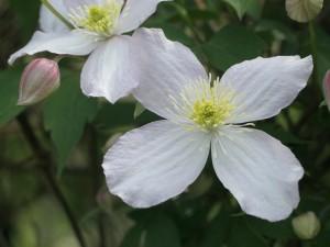 Clematis montana - himalajski srobot 05