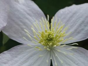 Clematis montana - himalajski srobot 06