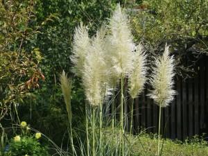 Cortaderia selloana - pampaška trava 01
