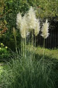 Cortaderia selloana - pampaška trava 02