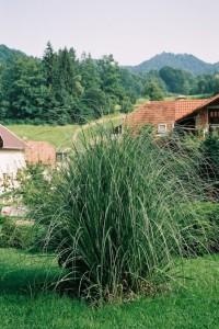 Cortaderia selloana - pampaška trava 03
