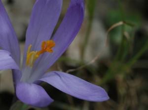 Crocus vernus - pomladni žafran 04