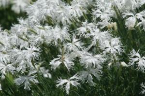 Dianthus alpinus 'Alba' - nagelj 01