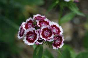 Dianthus barbatus - nagelj 01