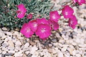 Dianthus sp. - nagelj 02