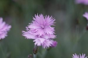 Dianthus sp. - nagelj 03