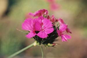 Dianthus sp. - nagelj 05